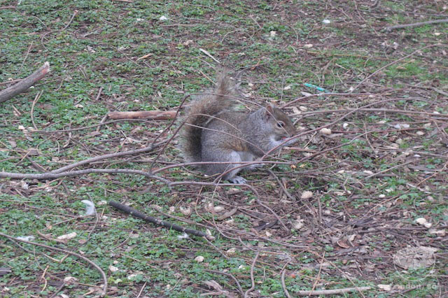 Os famosos esquilos espalhados pelo St James's Park.