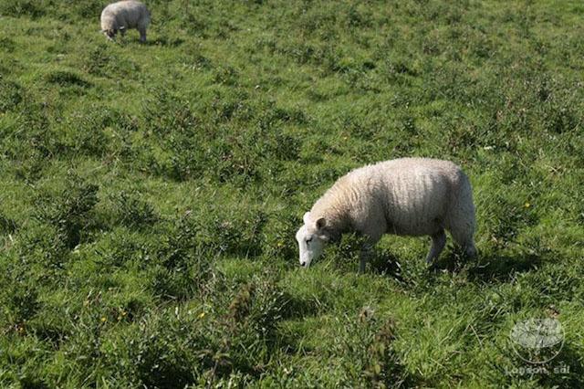 ovelhas-irlanda
