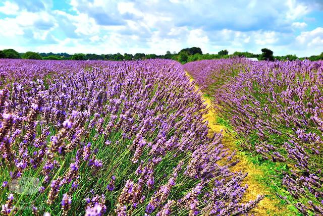 Mayfield Lavender: Campo de Lavanda Perto de Londres