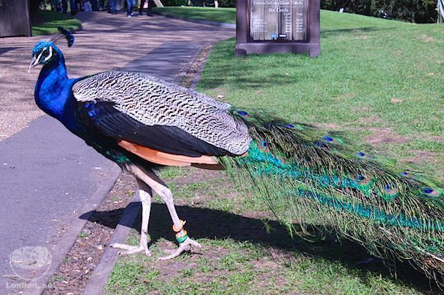 castelo-warwick-castle-peacock-garden-3