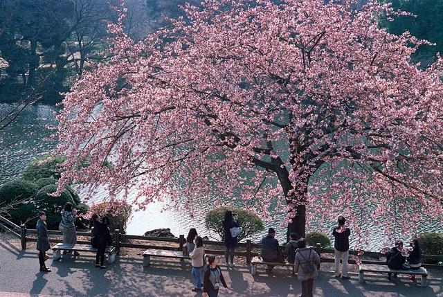 cerejeiras no Japão